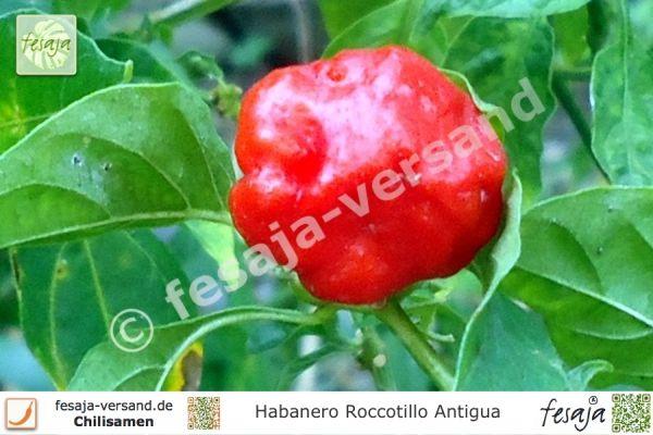 Habanero Rocotillo Antigua
