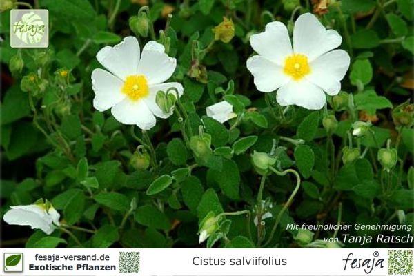 Salbeiblättrige Zistrose, Cistus salviifolius, Pflanze