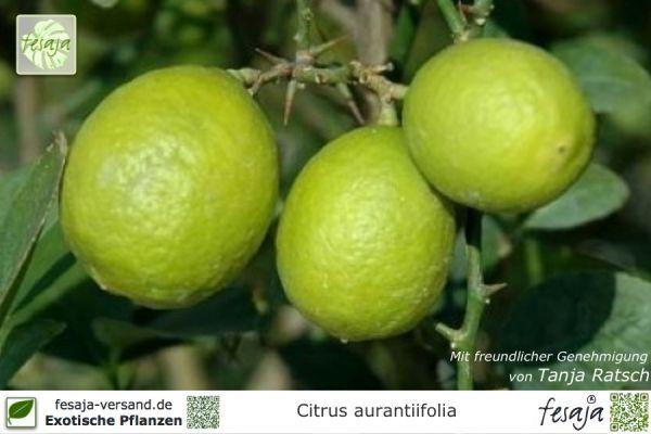 Mexikanische Limette, Citrus aurantiifolia, Pflanze