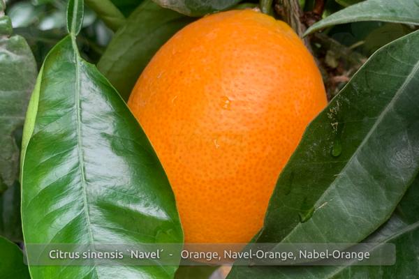 Nabel-Orange, Citrus sinensis Navelina, Pflanze