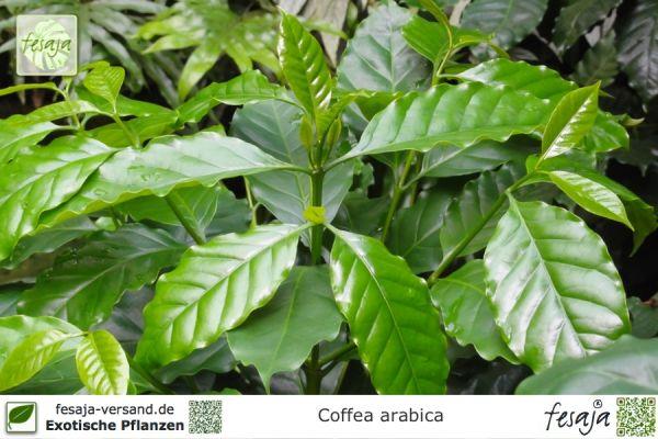 Arabica-Kaffee, Coffea arabica, Pflanze