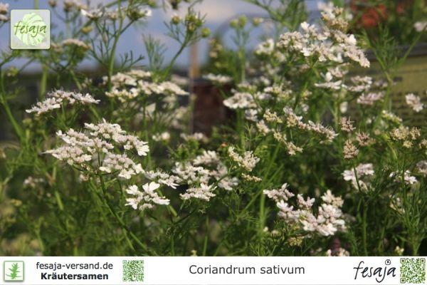 Blattkoriander, Coriandrum sativum