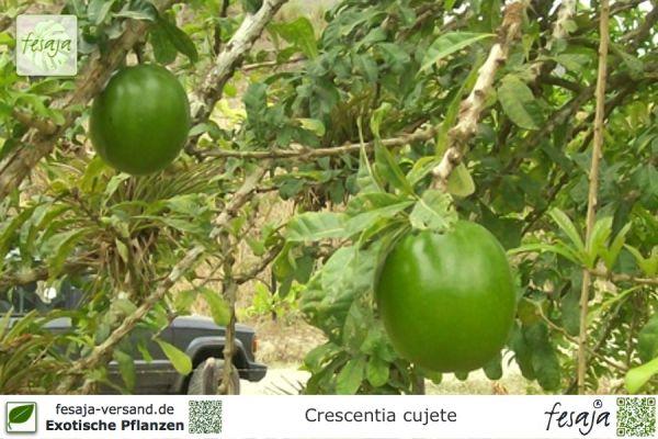 Kalebassenbaum, Crescentia cujete, Pflanze