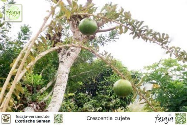 Kalebassen-Baum, Crescentia cujete