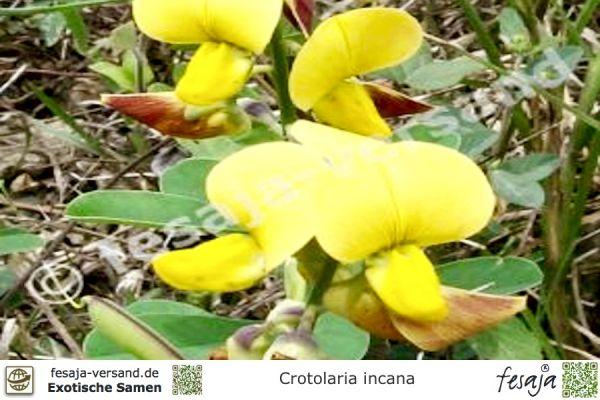Kastagnettenstrauch, Crotalaria incana