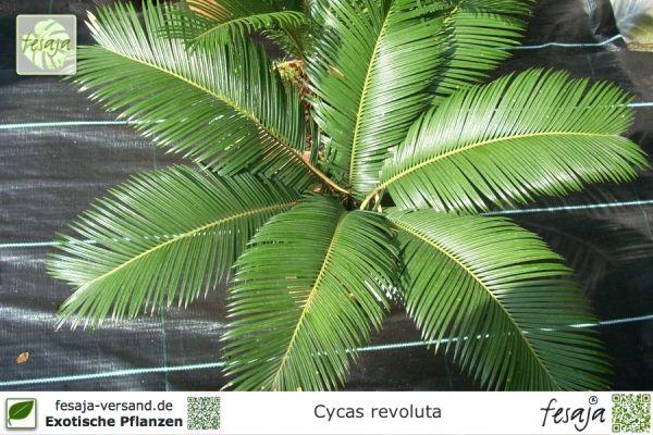 Sagopalmfarn, Cycas revoluta, Pflanze