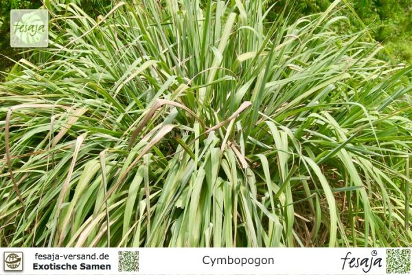 Lemongras, Cymbopogon winterianus