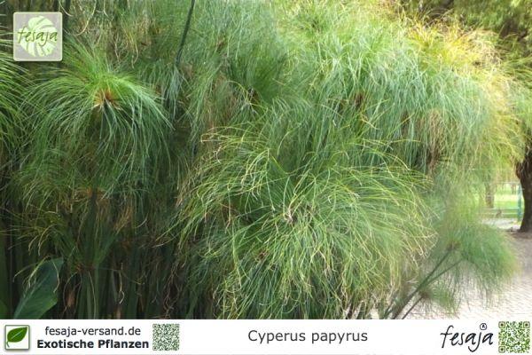 Echter Papyrus, Cyperus papyrus, Pflanze