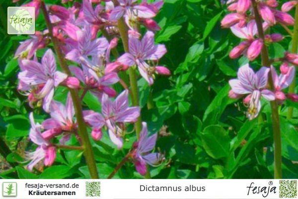 Diptam, Dictamnus albus