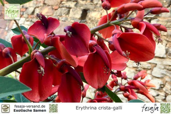 Karibischer Korallenstrauch, Erythrina crista-galli