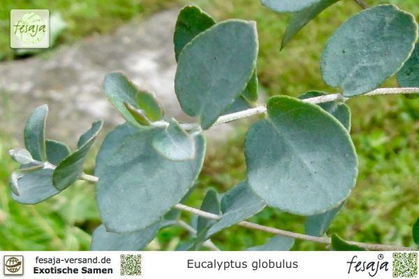 Blauer Eukalyptus, Eucalyptus globulus