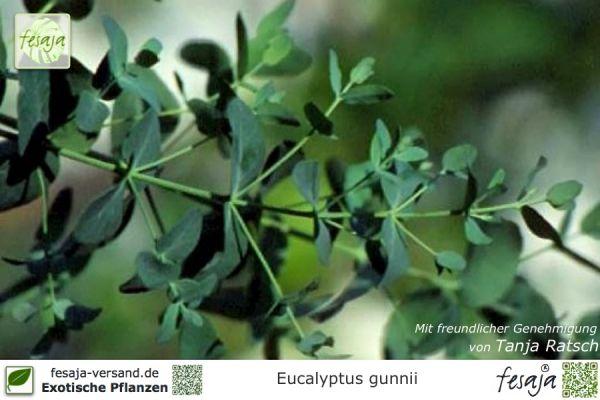 Mostgummi Eukalyptus, Eucalyptus gunnii, Pflanze