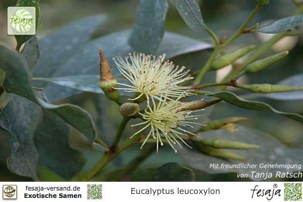 Weißer Gummi-Eukalyptus, Eucalyptus leucoxylon