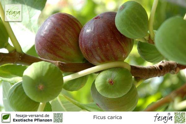 Echte Feige, Violette Feigen, Ficus carica, Pflanze