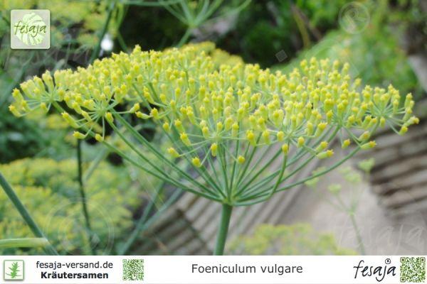 Gewürzfenchel, Foeniculum vulgare