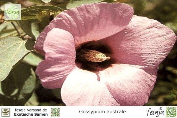 Australische Baumwolle, Gossypium australe