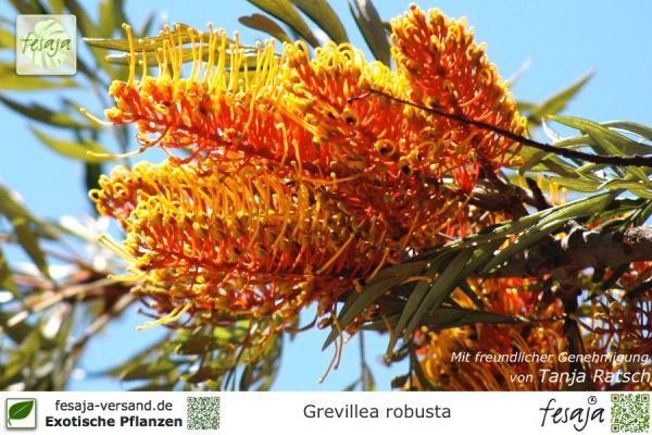 Australische Silbereiche, Grevillea robusta, Pflanze