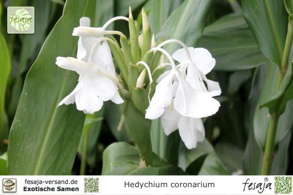 Schmetterlings-Ingwer, Hedychium coronarium