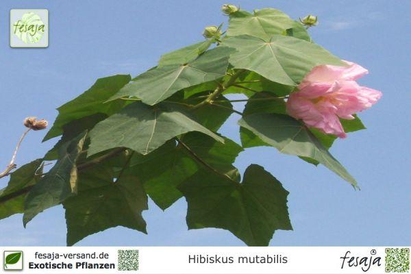 Mandeleibisch, Hibiscus mutabilis, Pflanze