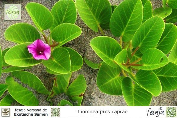 Brasilianische Prunkwinde, Ipomoea pes-caprae