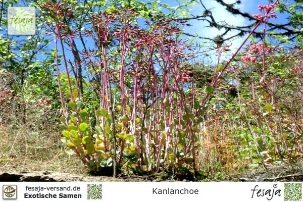 Brutblatt, Goethe-Pflanze, Kalanchoe
