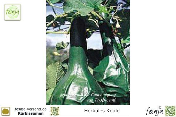 Herkules Keule, Curcubita lagenaria