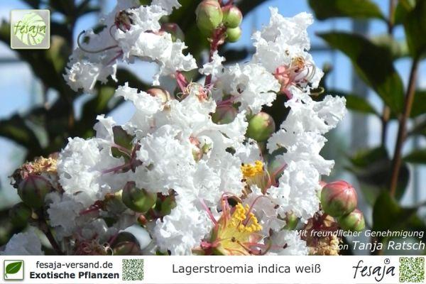 Weiße Kreppmyrte, Lagerstroemia indica alba, Pflanze