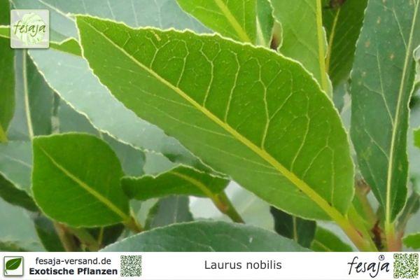 Echter Lorbeer, Laurus nobilis, Pflanze