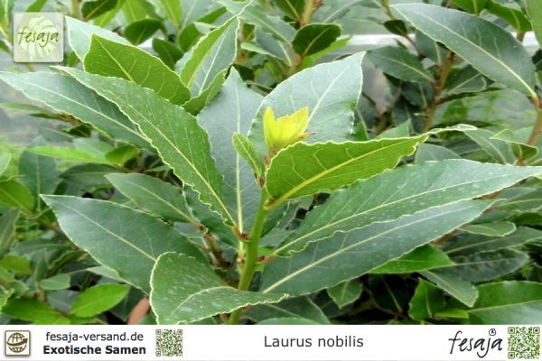 Echter Lorbeer, Laurus nobilis
