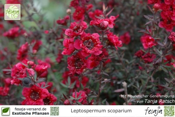 Südseemyrte rot, Leptospermum scoparium, Pflanze