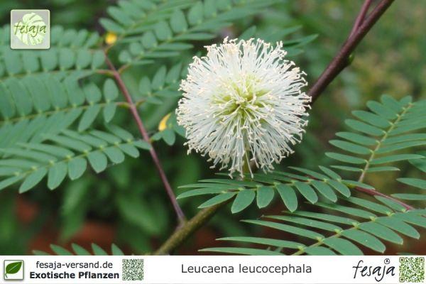 Weißkopfmimose, Leucaena leucocephala, Pflanze