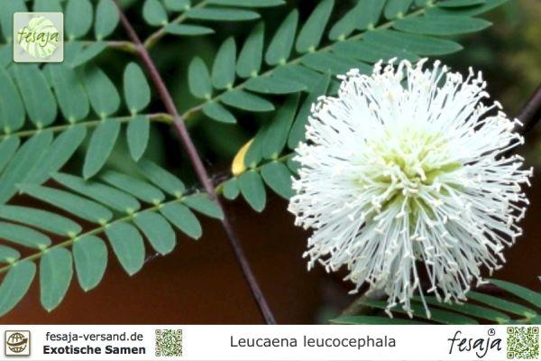 Weißkopfmimose, Leucaena leucocephala