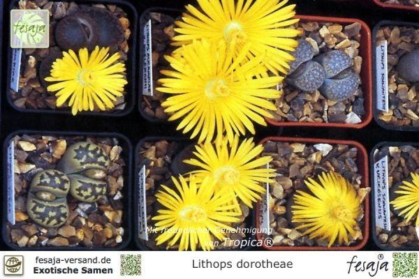 Lebende Steine, Lithops dorotheae