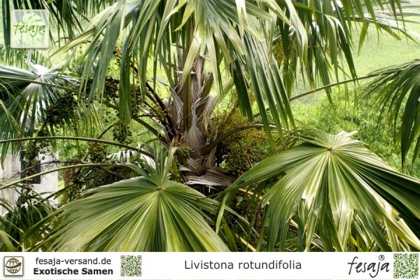 Rundblättrige Livistonie, Livistona rotundifolia
