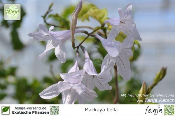 Waldglockenstrauch, Mackaya bella, Pflanze