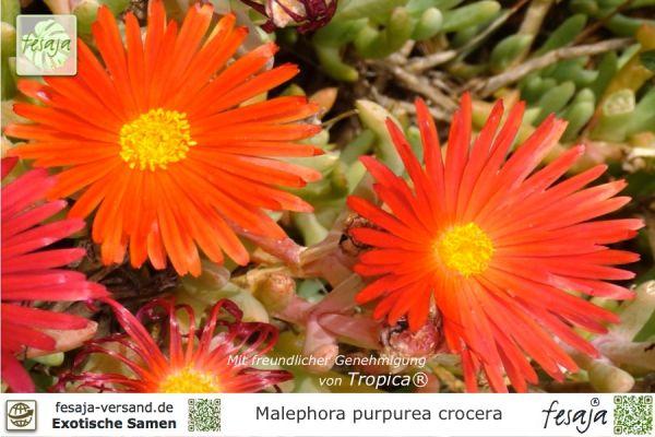 Eispflanze, Malephora purpurea crocera