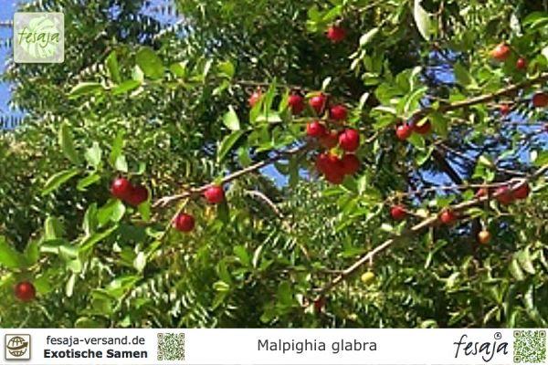 Azerola, Antillen-Kirsche, Malpighia glabra