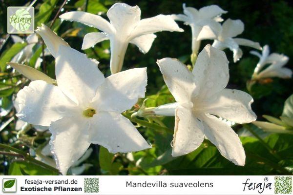 Chilenischer Jasmin, Mandevilla suaveolens, Pflanze