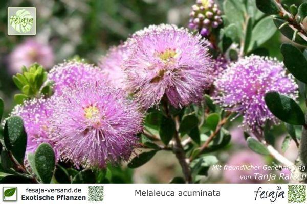 Rosa Myrtenheide, Melaleuca acuminata, Pflanze
