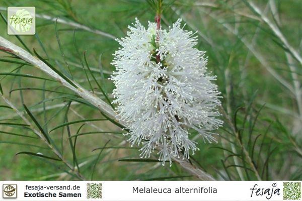 Australischer Teebaum, Melaleuca alternifolia