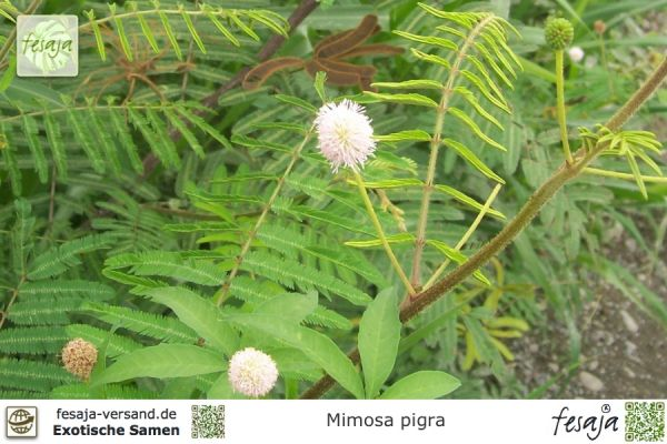 Riesen-Sinnespflanze, Mimosa pigra