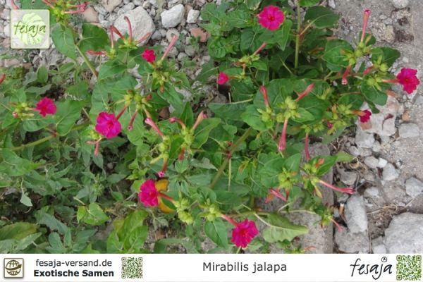 Wunderblume, Mirabilis jalapa