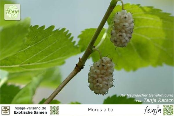 Weisse Maulbeere, Morus alba