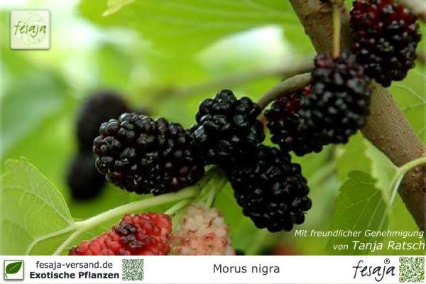 Schwarzer Maulbeerbaum, Morus nigra, Pflanze