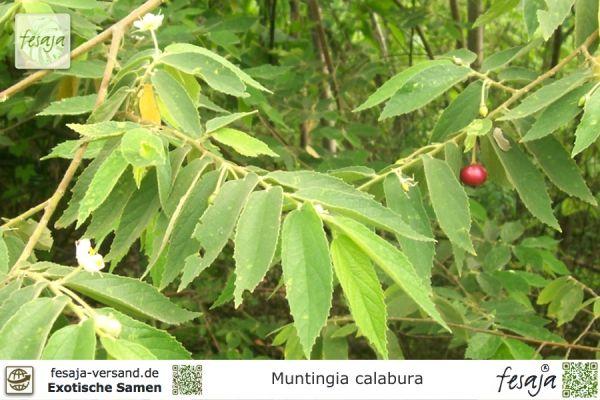 Jamaika Kirsche, Muntingia calabura