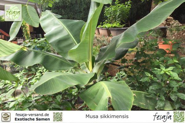 Darjeeling Banane, Musa sikkimensis