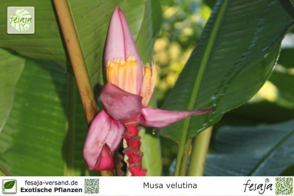 Kenia-Banane, Musa velutina, Pflanze