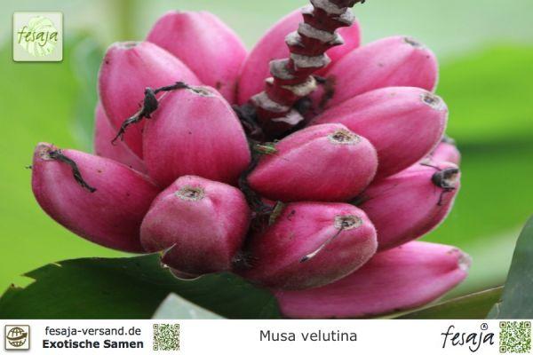 Kenia-Banane, Musa velutina