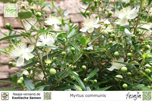 Echte Myrte, Myrtus communis