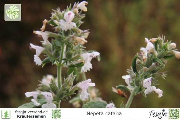 Echte Katzenminze, Nepeta cataria